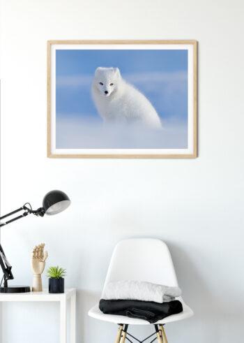 Lis Polarny - plakaty do salonu