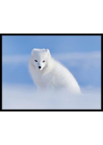 Plakat do salonu z lisem polarnym